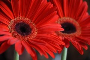Czerwone gerbery
